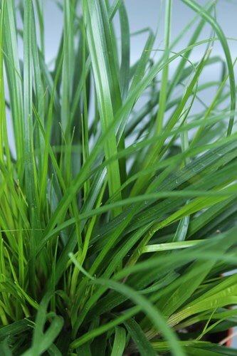Carex morrowii Irish Green